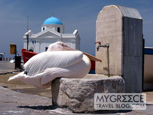 a pelican in Mykonos