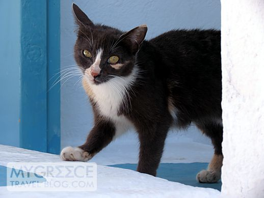 a cat in Mykonos Town