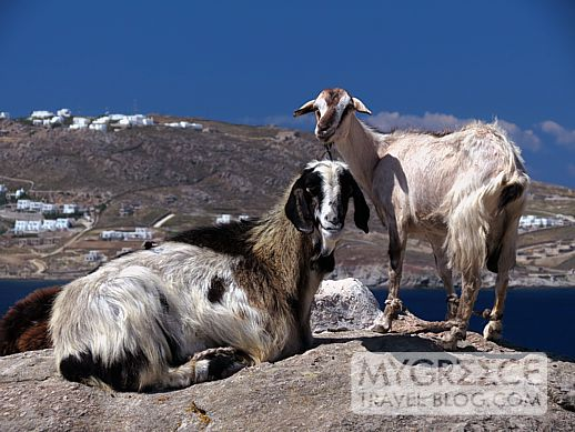 goats on Mykonos
