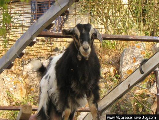 goat in Amorgos