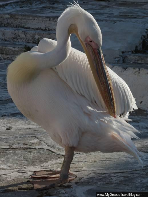a Mykonos pelican