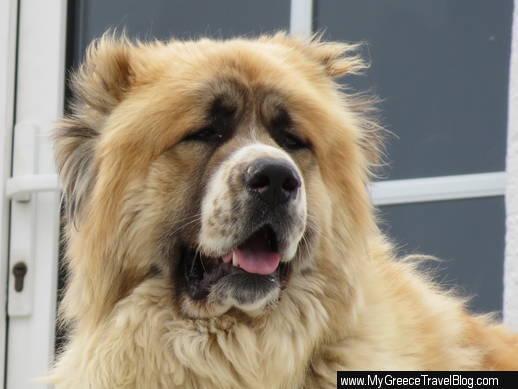 Mykonos dog