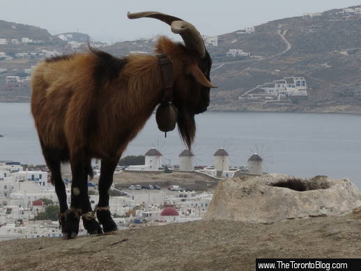 Mykonos goat