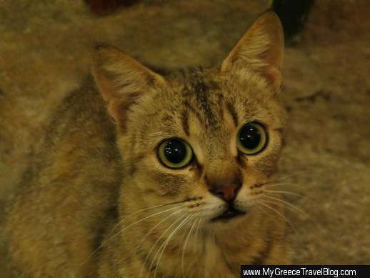 Naoussa cat