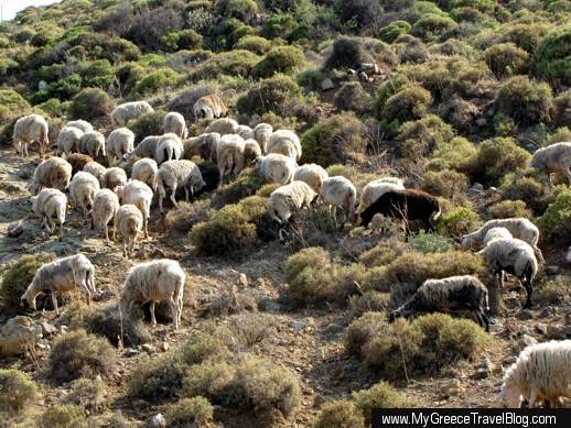 sheep on a hill on Patmos
