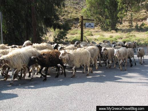 sheep near Grikos Bay on Patmos