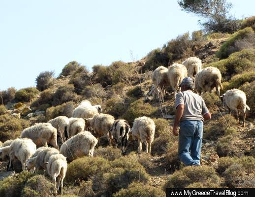 sheep on Patmos island