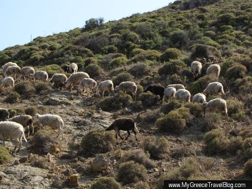a flock of sheep on Patmos