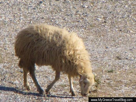 a sheep at the side of a road on Amorgos