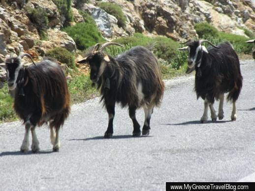 goats on a highway on Amorgos island