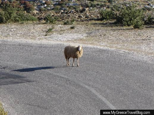 a sheep on a highway on Amorgos