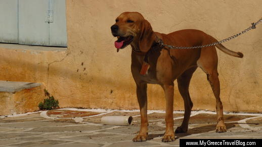 a dog in Chalki village