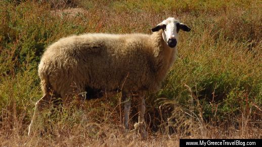 a sheep on Naxos