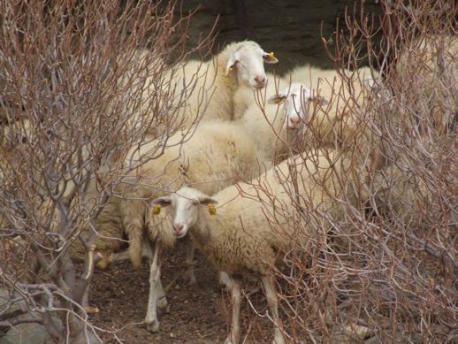 sheep on Sifnos