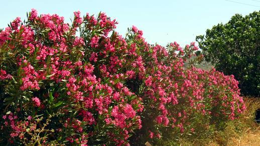 azaleas on Naxos