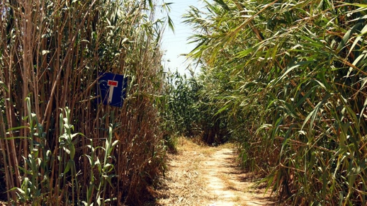 bamboo plants on Naxos