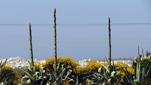 agave flower stems