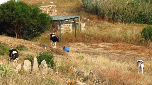 cows on Naxos