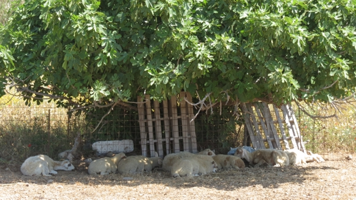 sheep on Naxos