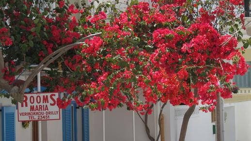 bougainvillea in Naxos Town