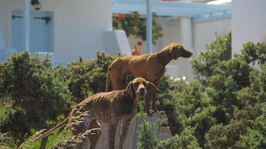 guard dogs on Naxos