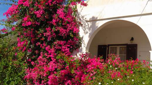 bougainvillea in Kerami village