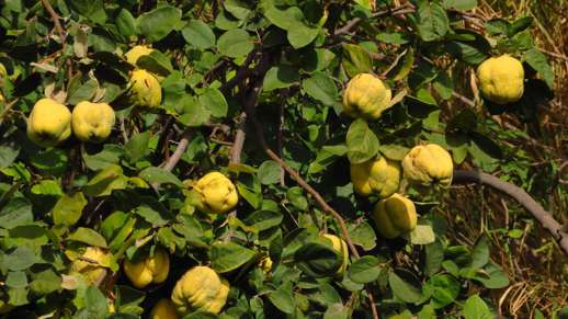 citrus fruit in Chalki