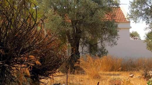tree in a field near Chalki