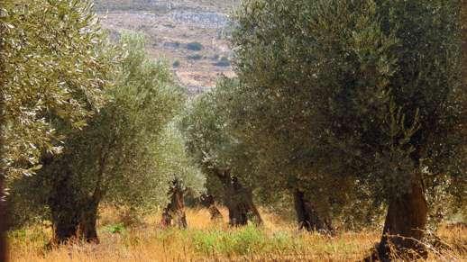olive trees in Chalki