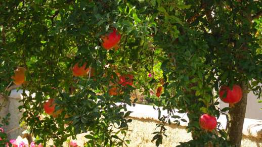 fruit on a tree in Chalki