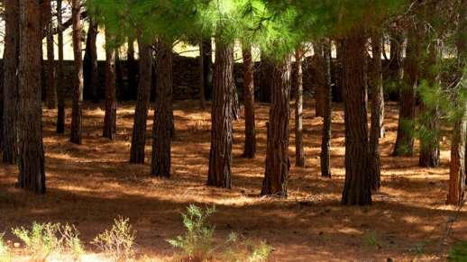 pine trees at Filoti