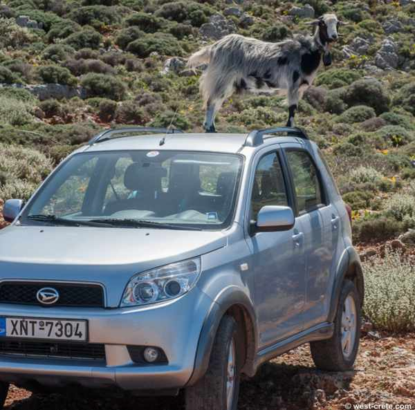 Goat on a car at Balos