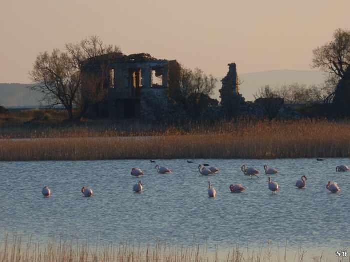 flamingos at Alyki on Samos
