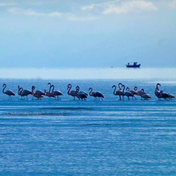 Flamingos at Nafplio