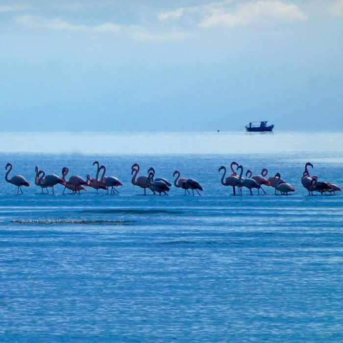Flamingos at Nafplio