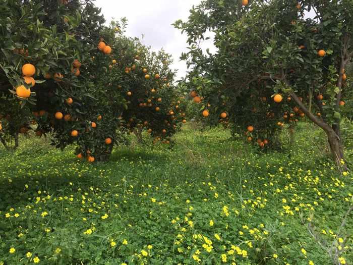 Citrus trees near Kamilari
