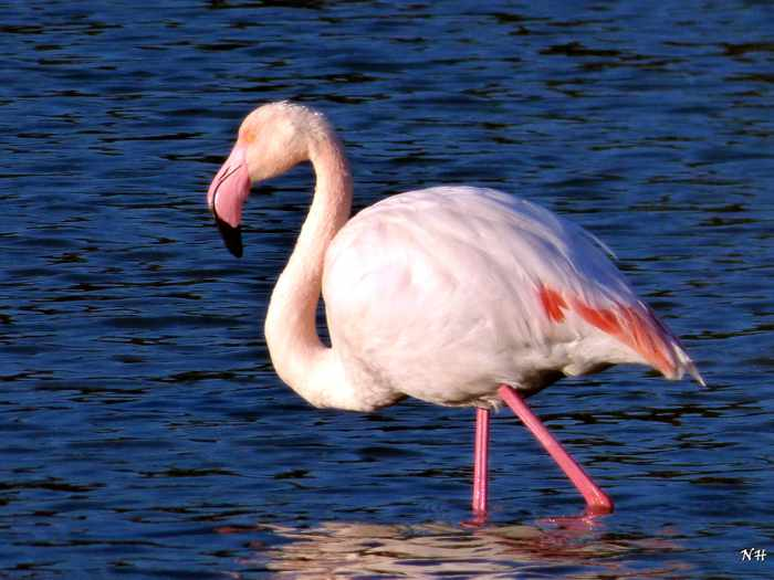 Samos flamingo photo by Nikolaos Housas