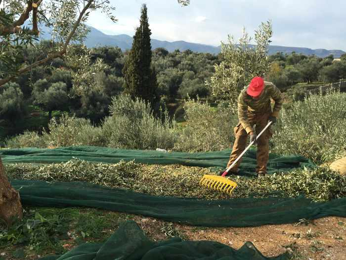 Olive harvesting at Karpofora Messenia