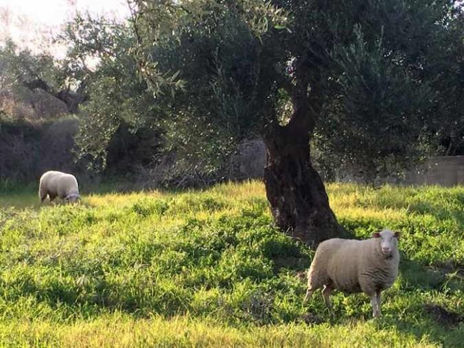 Sheep in an olive grove at Axladohori, Messenia