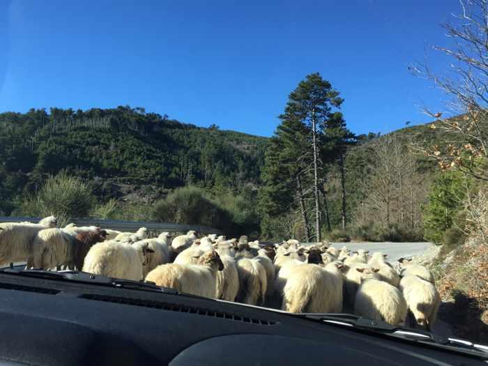 sheep on the Langada Pass near Artemisia, Messenia