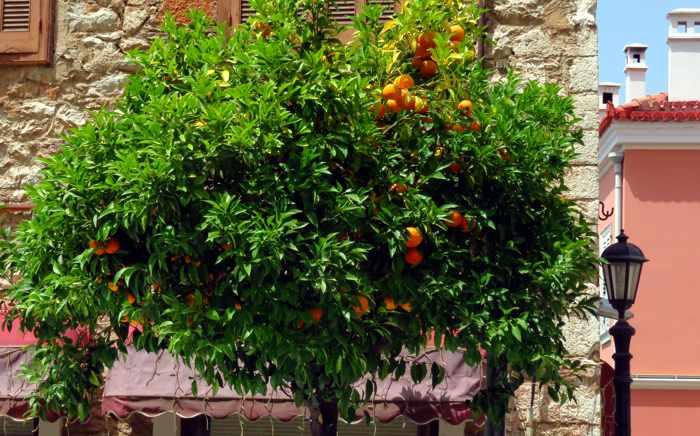 an orange tree in Nafplio