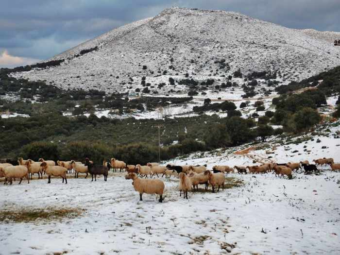 Sheep grazing in snow on Kefalonia island