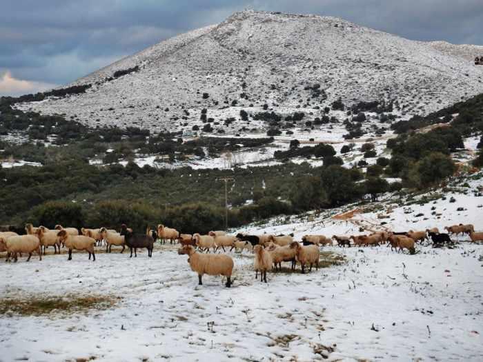 Sheep grazing in snow on Kefalonia island