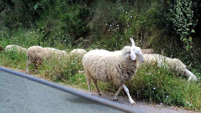 sheep grazing near the Andromonastiro at Ancient Messini