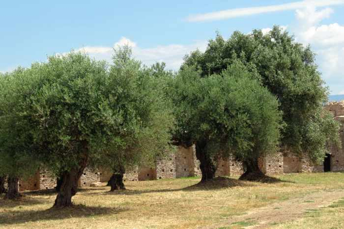 Olive trees at Androusa Castle