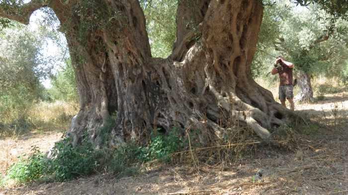 an old olive tree near Romanos