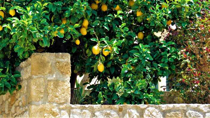 lemon tree in Kyparissia