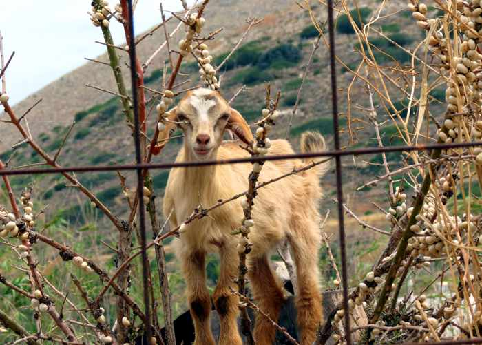Greece, Greek Islands, Cyclades, Siros, Syros, Syros island, Kini, Kini Bay, Kini Bay Syros, village, animal, goat, snails,
