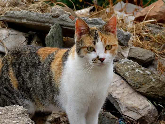 Greece, Greek Islands, Cyclades, Siros,Syros, Syros island, cat, animal,