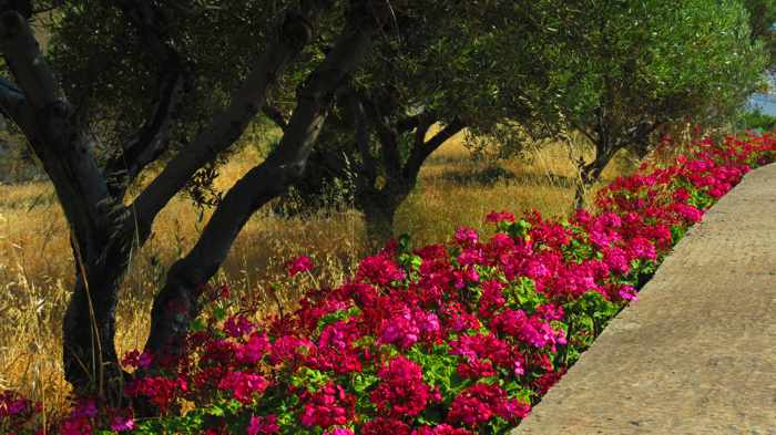 Greece, Greek Islands, Cyclades, Siros, Syros, Syros island, trees, plants, flowers, geraniums,